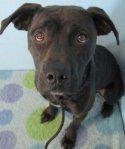 Piper is a smaller pittie with a gorgeous dark brindle coat, a smiling face and a tail that never stops wagging. Piper loves adventure, and she is always on the lookout for new sights, sounds and smells. It's a new world to her, and she wants to explore every corner of it! Piper would love to go on long walks or jogs with you to check out the neighborhood. She does need some practice on a leash -- she is so eager to go, go, go that it will take a bit of work to get her to walk nicely, but it will be well worth it! Piper would love a human who would take that time to work with her, teach her some manners and maybe even a trick or two! Please come and meet our happy-go-lucky Piper soon to see if she's the one for you!